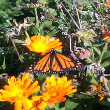 A homegrown Monarch